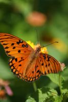 Gulf Fritillary on Latana 3 by poetcrystaldawn