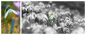 Snowdrop composition by LueDscha