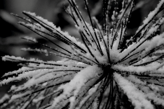 Pine Needle Fireworks by DBoydPhotography