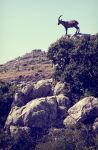 mountain goat andalucia by emohoc