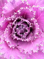 Purple Decorative Cabbage by calzephyr