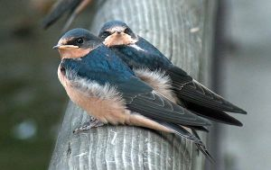 Young Barn Swallows by SonjaStarke