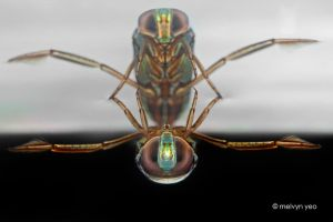 Backswimmer by melvynyeo