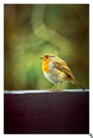 robin of patience by bexa