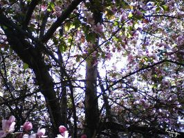 Vision of Cherry Blossoms by greyorm