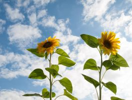 Sunflowers by Inilein