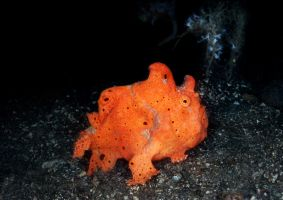 Red Frogfish by LazyDugong