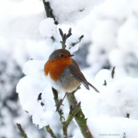 Little Robin Red Breast by xfiripax
