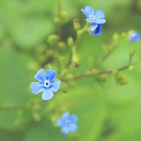 Little blue Flowers by Bhesi