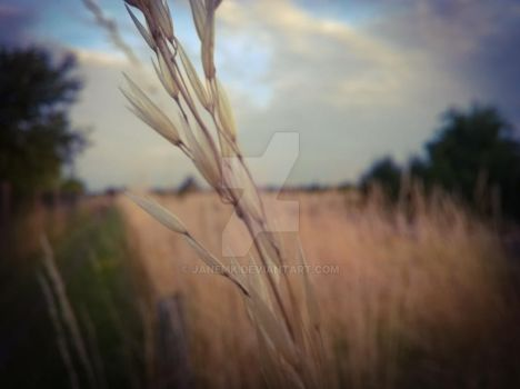 Blurry Wheat Background by janemk