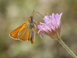 Small Skipper by Jamie-MacArthur
