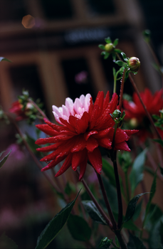 Crimson-petaled flower by Karinta