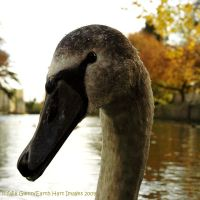 Portrait of a Cygnet by EarthHart