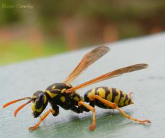 Wasp by Ranae490