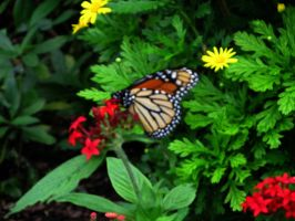 Butterfly on red flower by WisteriasWeb