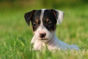 Jack Russel terrier puppy by Foto-front
