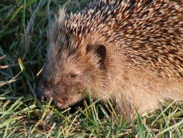 Old hedgehog chewing by TomiTapio