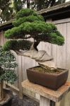 Twisted Thick Bonsai by AndySerrano