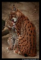 Lynx Love by TVD-Photography