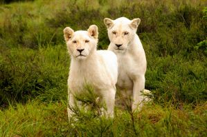 White Lion 03 by mynameis8523