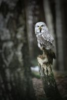Forrest guard (Strix nebulosa) by AlesGola