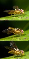 Wasp Mimic Hoverfly 3 by otas32
