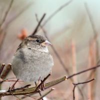 winter sparrow by wolf-minori
