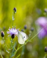 Cabbage Butterfly by rscorp