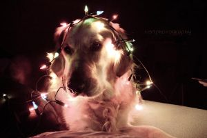 82/365 Christmas Dog by photographybyteri
