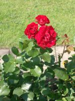 three red roses by indeed-stock