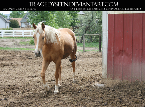 Palomino Stock 16 by tragedyseen