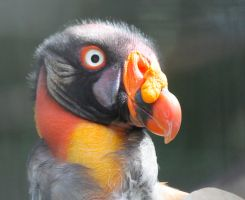 Mighty King Vulture by WilliamJCovello