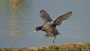 Dancing Coot by TerribleTer