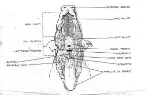 Pig Disection diagram by xxsqueekbatstockxx