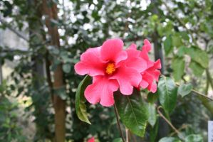 pink camellia outside by ingeline-art