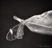 Tiny glasswing. by Phototubby