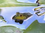 Levant Water Frog in Pond by NatureLense