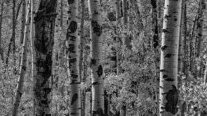 Looking Through the Yellow Aspens BW by mjohanson