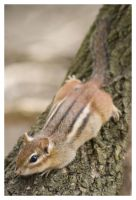Relaxed Chipmunk by AmirNasher