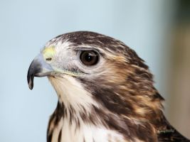 Red Tailed Hawk 2 by cindy1701d