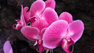 Orchids 1080p by Cougar28