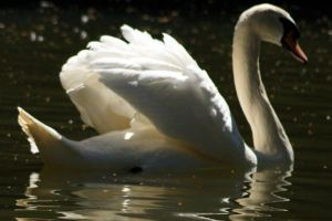 Swan lake by picture-melanie