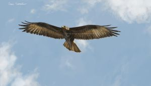 Common Buzzard by makangeni