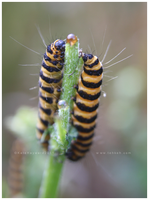 Cinnabar Moth Larvae by tea-bug