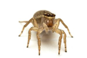 Jumping Spider by ribbonworm