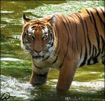 Great bath for Malayan tiger by woxys