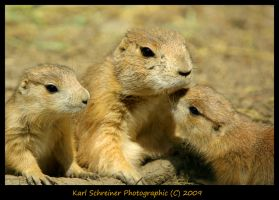 Black Tail Ground Hog 1 by KSPhotographic