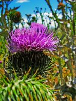 Vibrant Thistle 2 by Cyberpriest