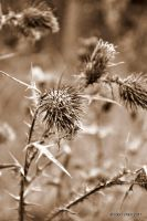 Prickly Thistle by meihua