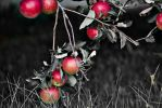 Apples by FOTOSHOPIC